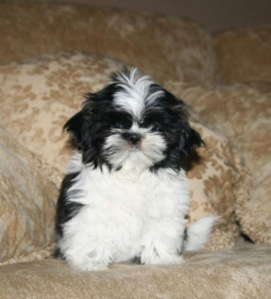 cute shih tzu names who rescued who mom in midlife 9506